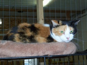 pet-adoption-wisconsin-richland-center-cat-bella