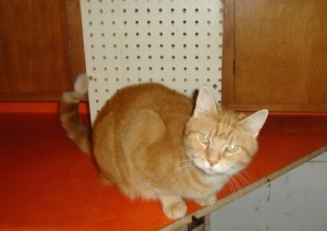 pet-adoption-wisconsin-richland-center-cat-periwinkle